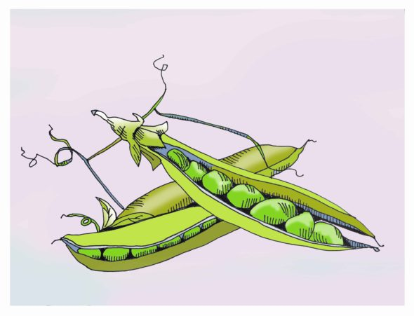 art every day number 133 peas garden summer drawing illustration