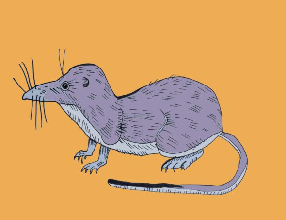 art every day number 146 shrew illustration drawing